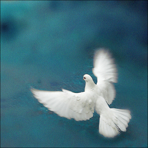 Peace Dove courtesy of Flickr